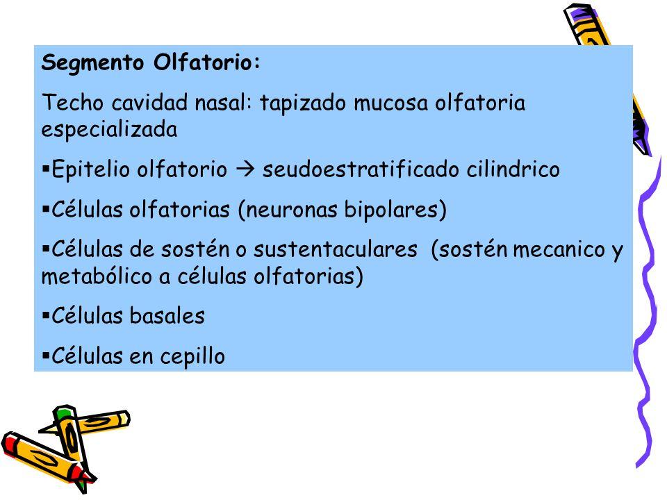 Segmento Olfatorio:Techo cavidad nasal: tapizado mucosa olfatoria especializada. Epitelio olfatorio  seudoestratificado cilindrico.