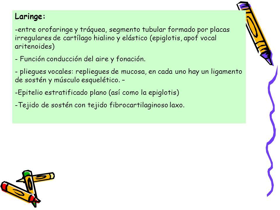 Laringe: