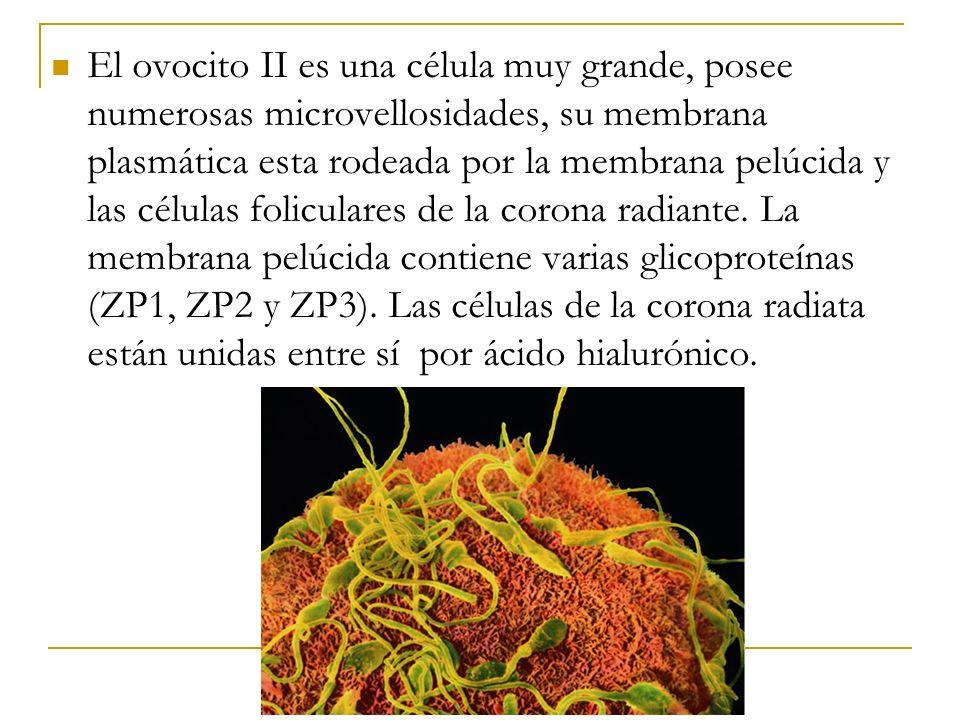 El ovocito II es una célula muy grande, posee numerosas microvellosidades, su membrana plasmática esta rodeada por la membrana pelúcida y las células foliculares de la corona radiante.
