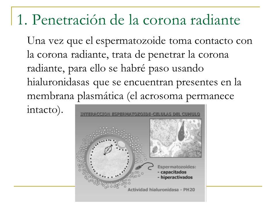 1. Penetración de la corona radiante