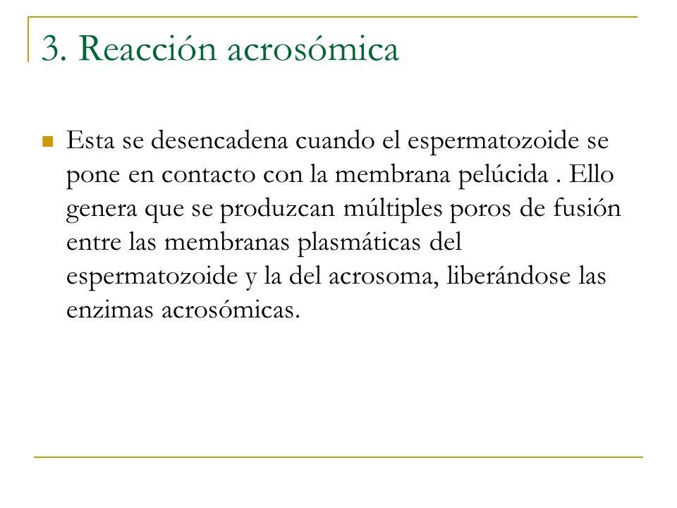 3. Reacción acrosómica