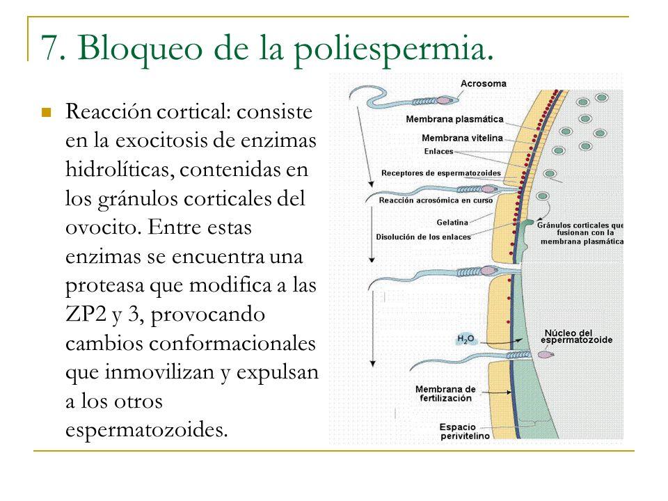 7. Bloqueo de la poliespermia.