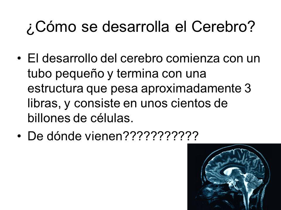 ¿Cómo se desarrolla el Cerebro