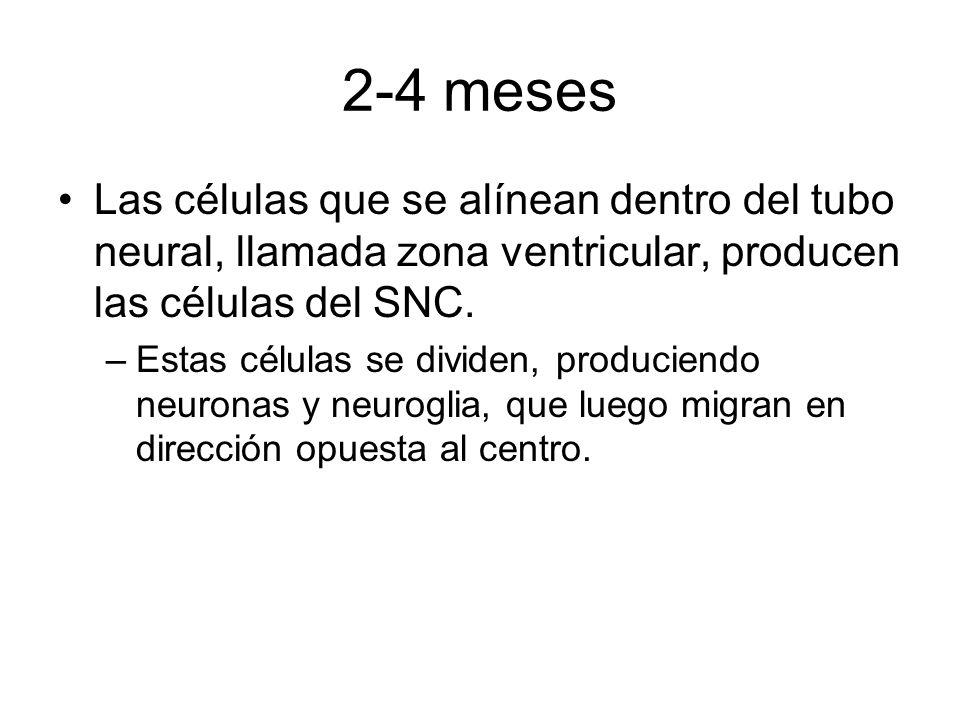 2-4 mesesLas células que se alínean dentro del tubo neural, llamada zona ventricular, producen las células del SNC.