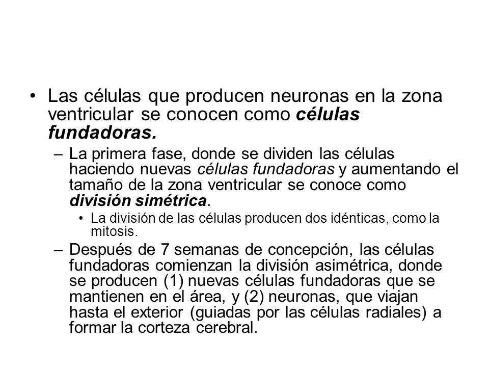 Las células que producen neuronas en la zona ventricular se conocen como células fundadoras.