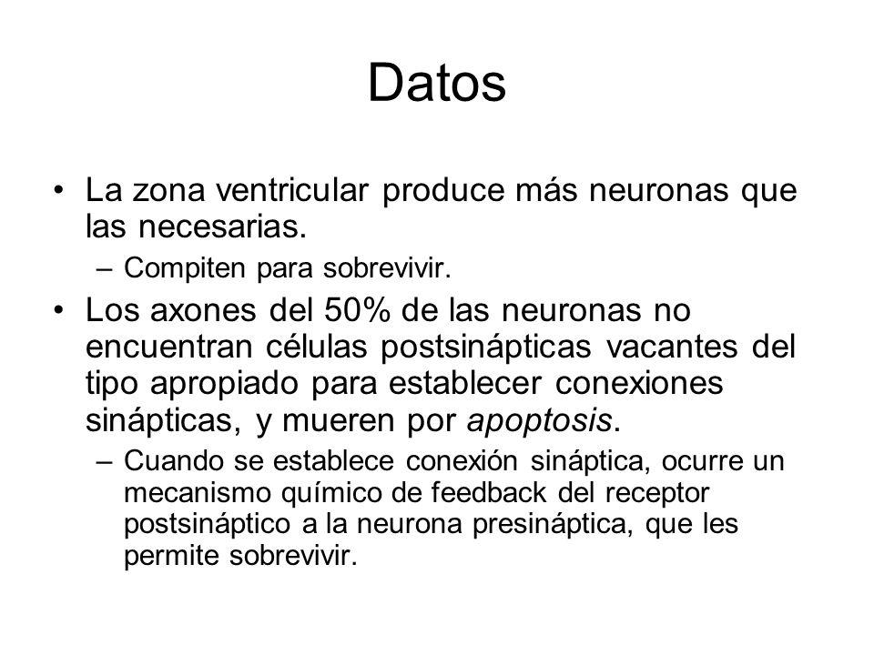 Datos La zona ventricular produce más neuronas que las necesarias.