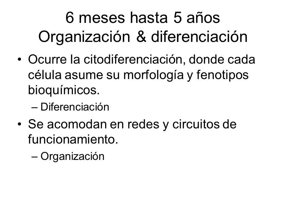 6 meses hasta 5 años Organización & diferenciación