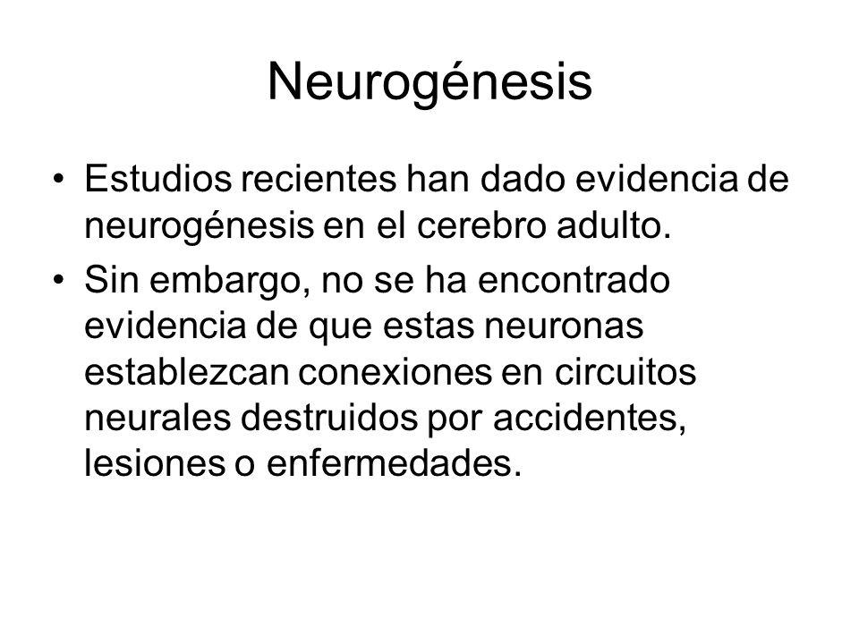 Neurogénesis Estudios recientes han dado evidencia de neurogénesis en el cerebro adulto.