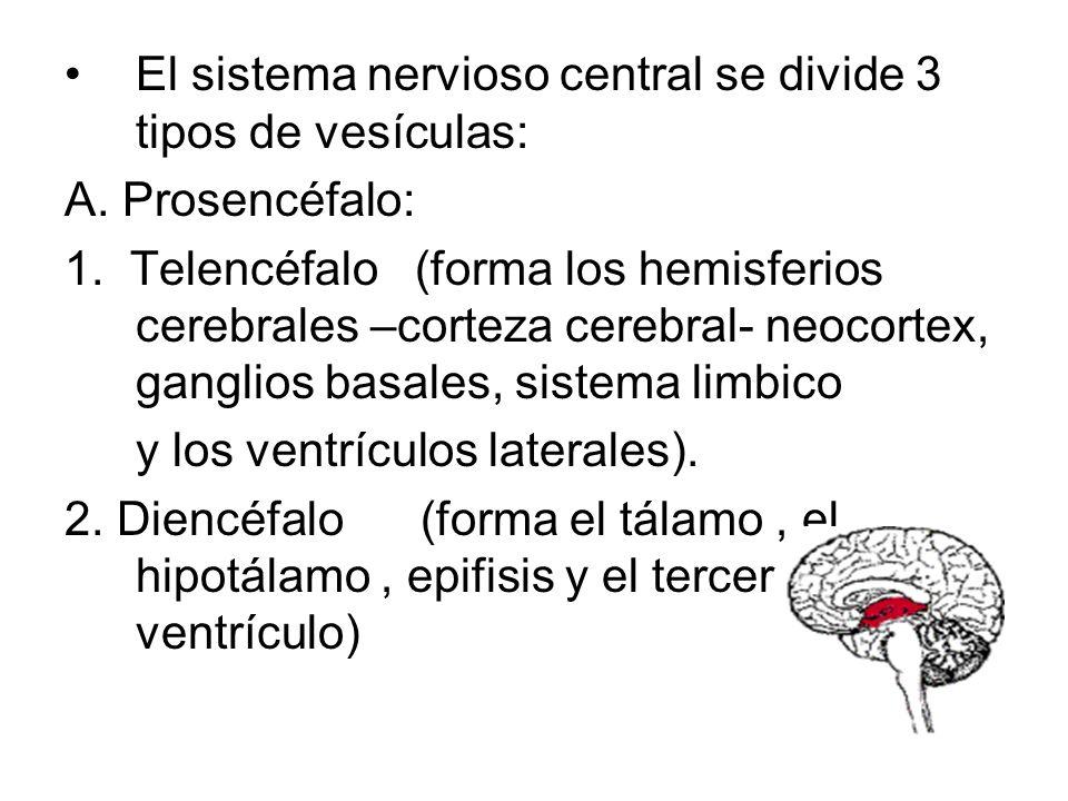 El sistema nervioso central se divide 3 tipos de vesículas: