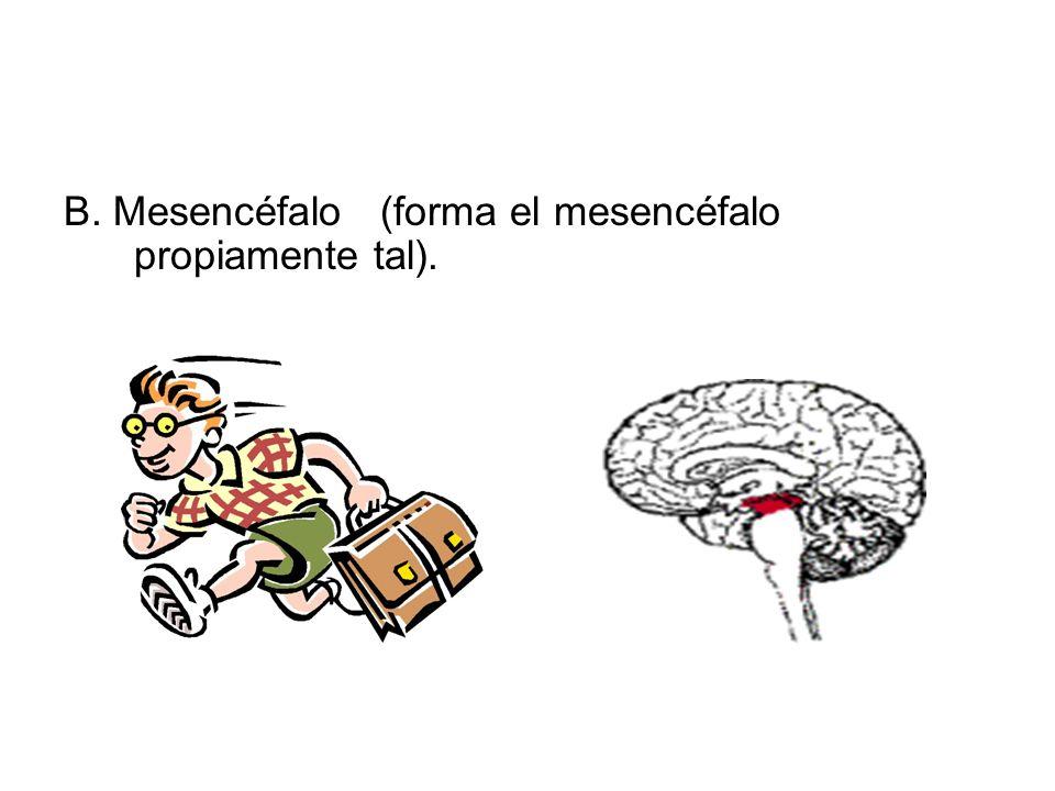 B. Mesencéfalo (forma el mesencéfalo propiamente tal).