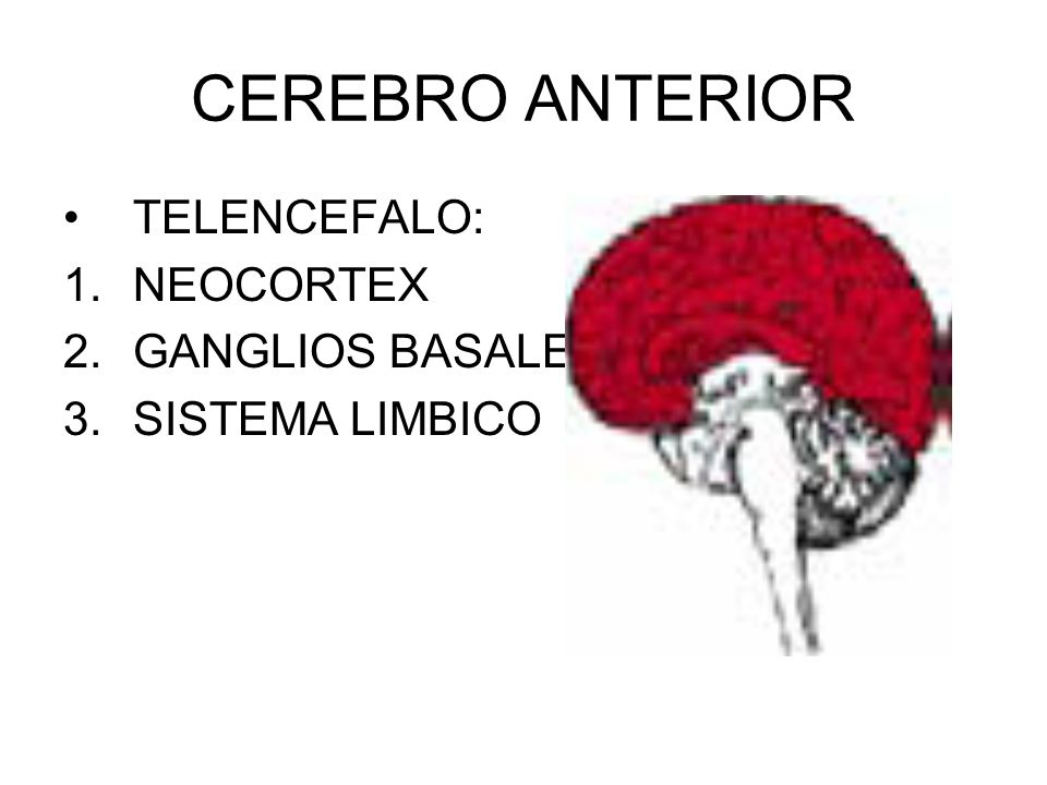 CEREBRO ANTERIOR TELENCEFALO: NEOCORTEX GANGLIOS BASALES