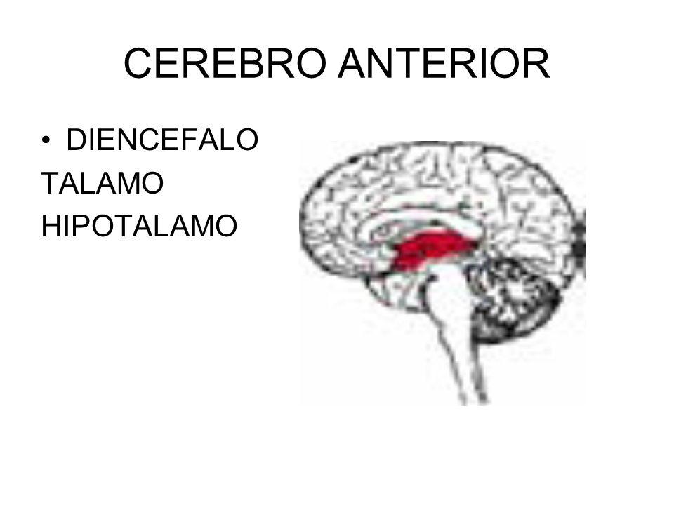 CEREBRO ANTERIOR DIENCEFALO TALAMO HIPOTALAMO