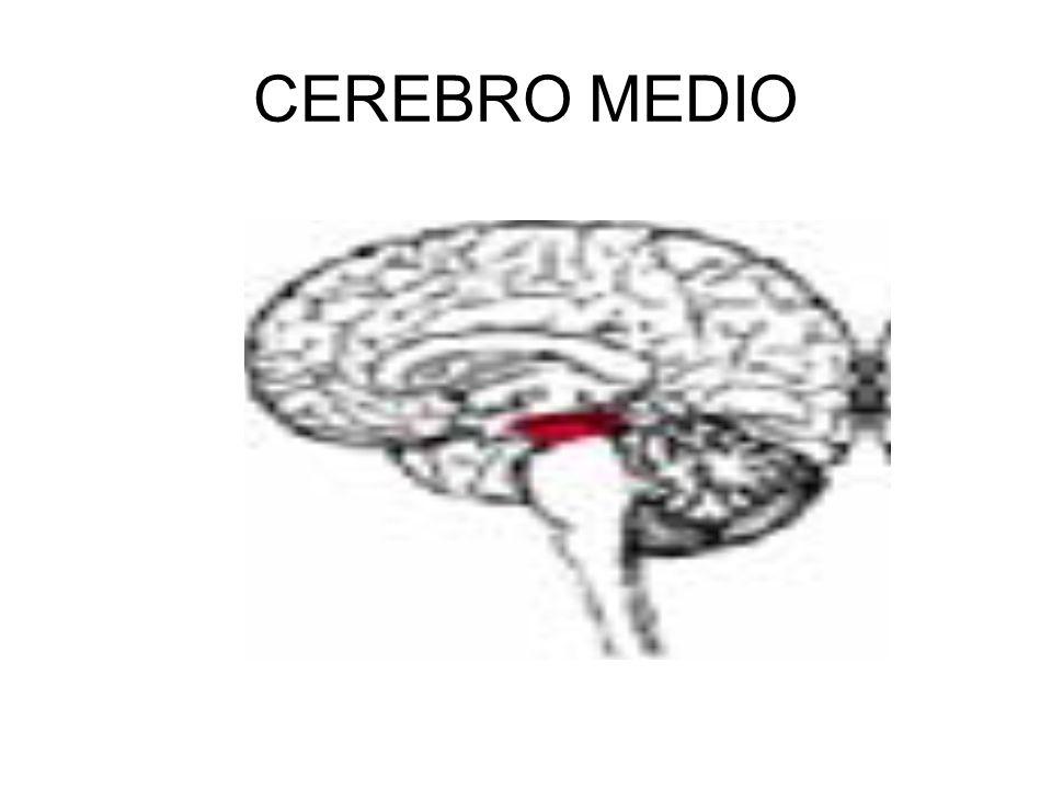 CEREBRO MEDIO