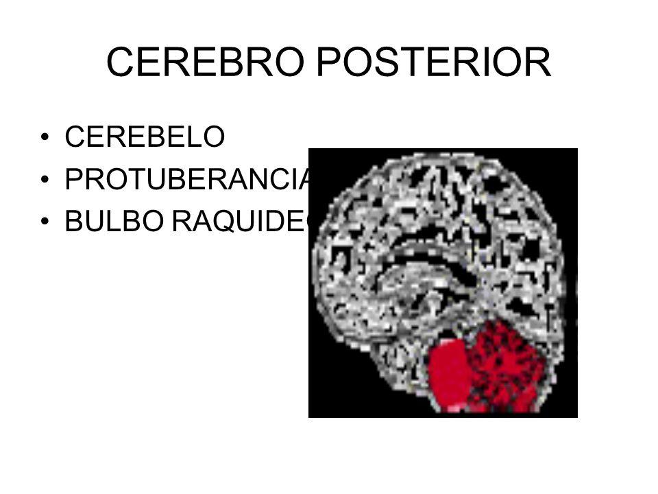 CEREBRO POSTERIOR CEREBELO PROTUBERANCIA BULBO RAQUIDEO