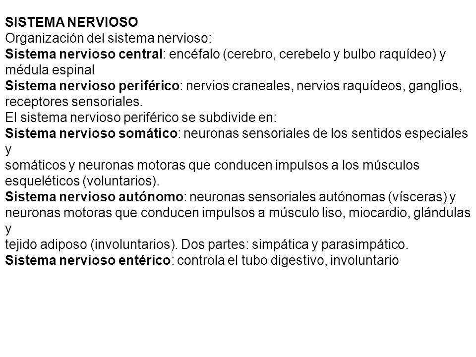 SISTEMA NERVIOSO Organización del sistema nervioso: Sistema nervioso central: encéfalo (cerebro, cerebelo y bulbo raquídeo) y.