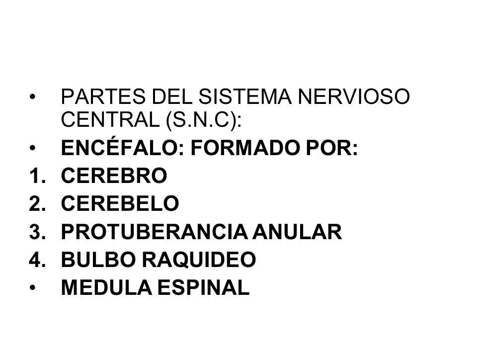 PARTES DEL SISTEMA NERVIOSO CENTRAL (S.N.C):