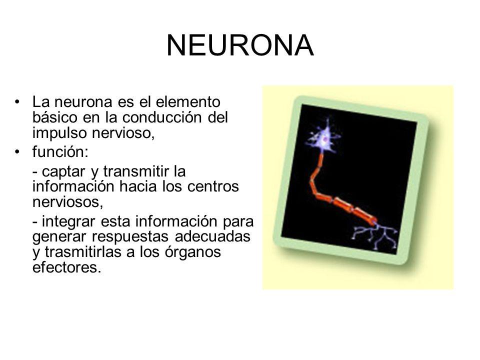 NEURONALa neurona es el elemento básico en la conducción del impulso nervioso, función:
