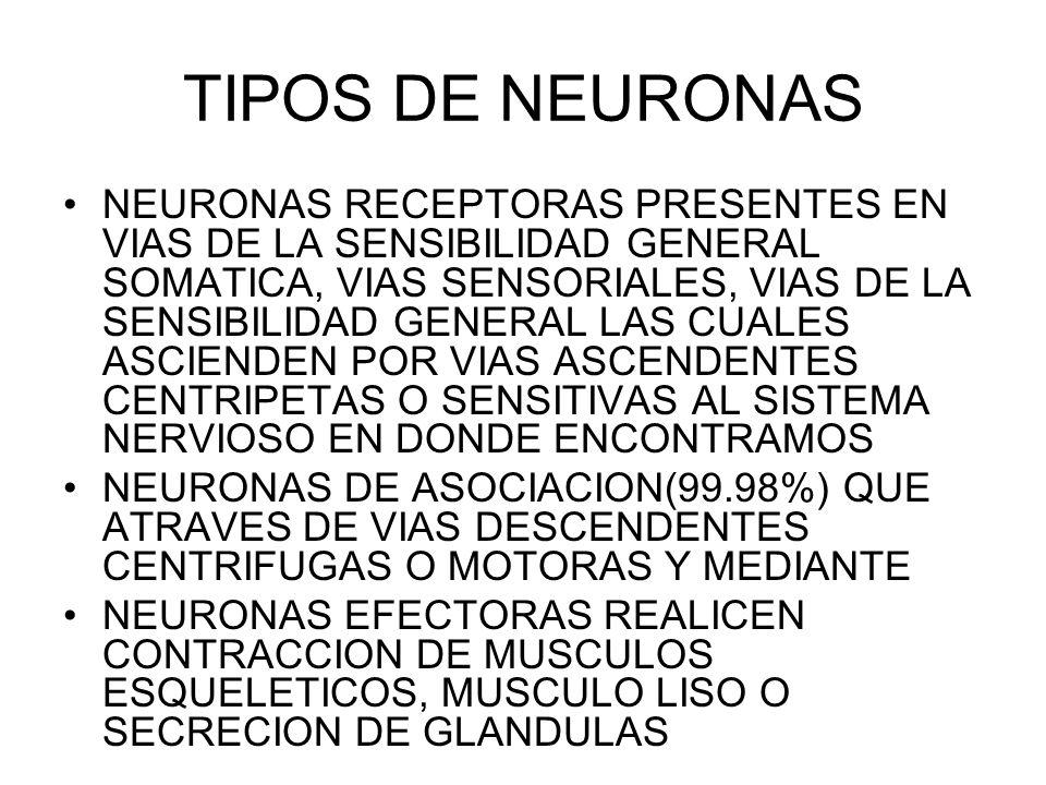 TIPOS DE NEURONAS