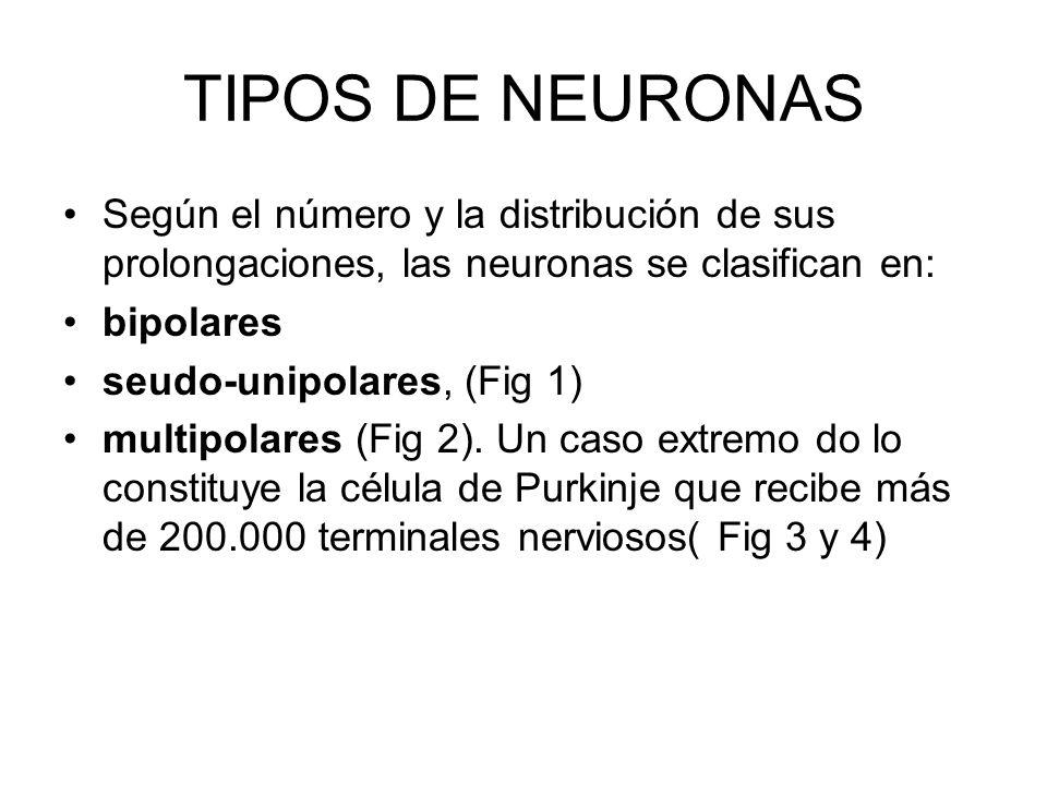 TIPOS DE NEURONASSegún el número y la distribución de sus prolongaciones, las neuronas se clasifican en: