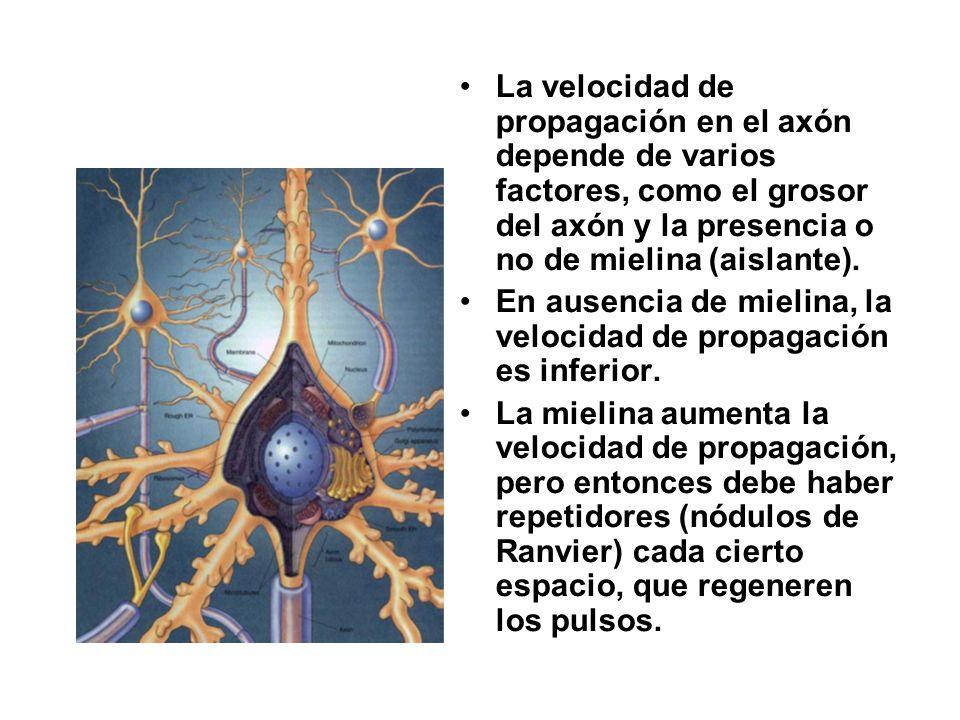 La velocidad de propagación en el axón depende de varios factores, como el grosor del axón y la presencia o no de mielina (aislante).