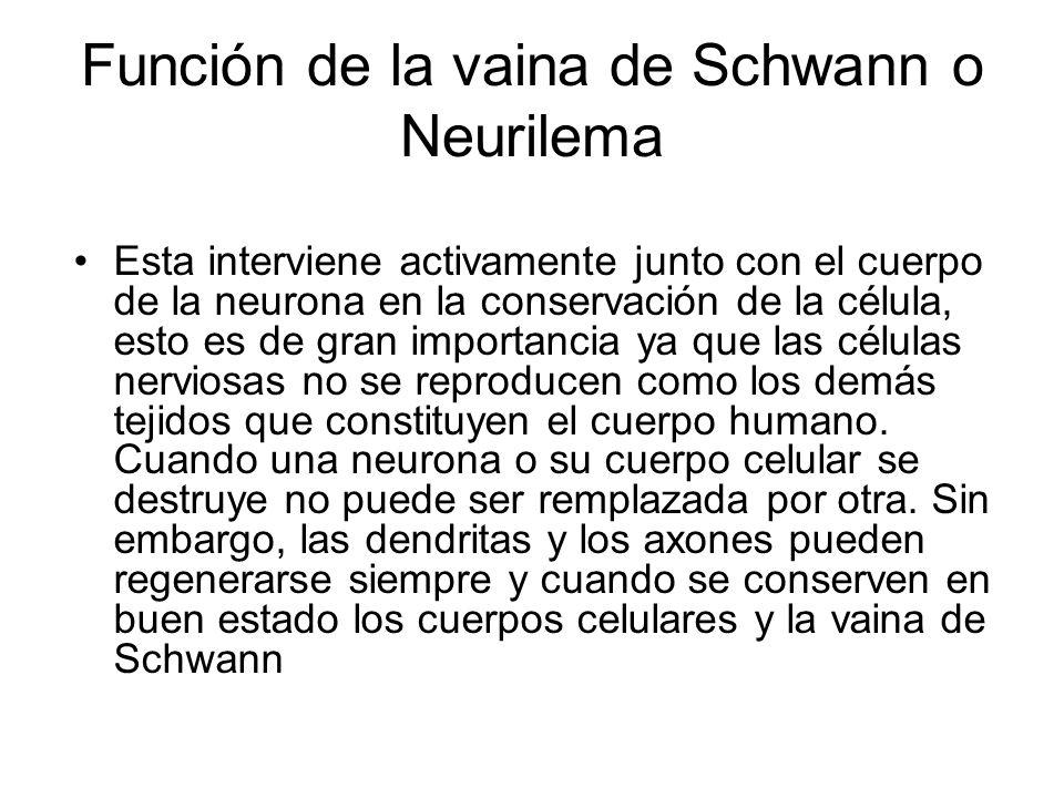 Función de la vaina de Schwann o Neurilema