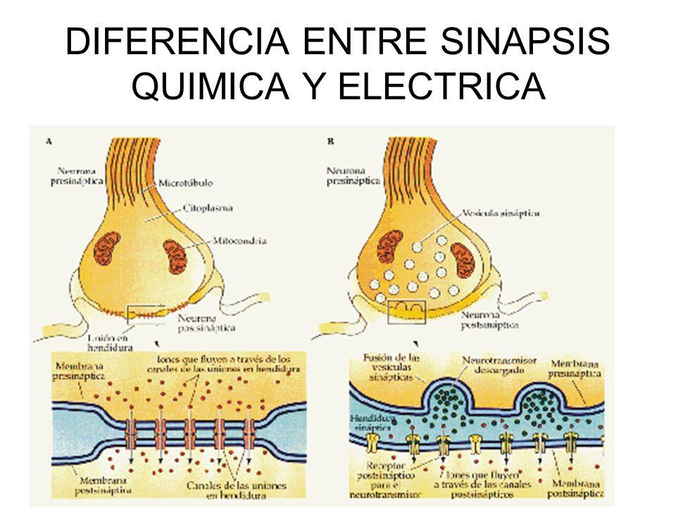 DIFERENCIA ENTRE SINAPSIS QUIMICA Y ELECTRICA