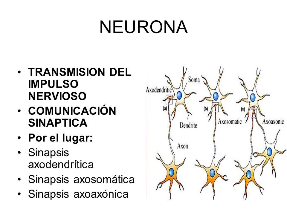 NEURONA TRANSMISION DEL IMPULSO NERVIOSO COMUNICACIÓN SINAPTICA