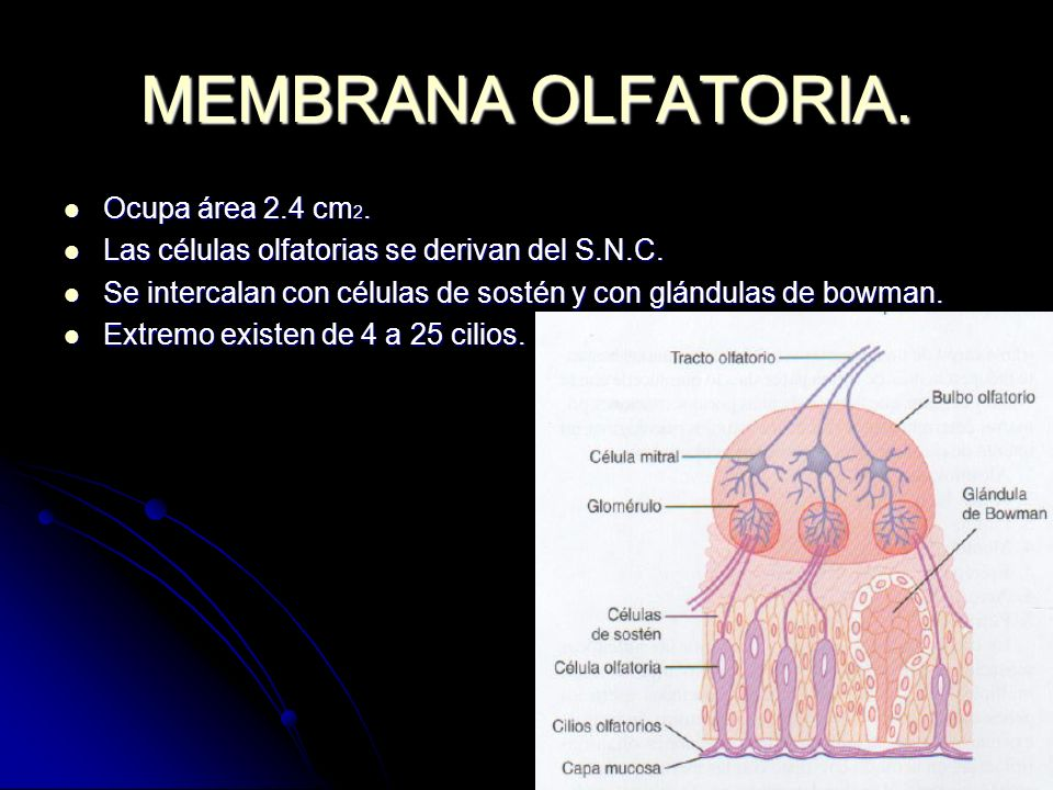 MEMBRANA OLFATORIA. Ocupa área 2.4 cm2.