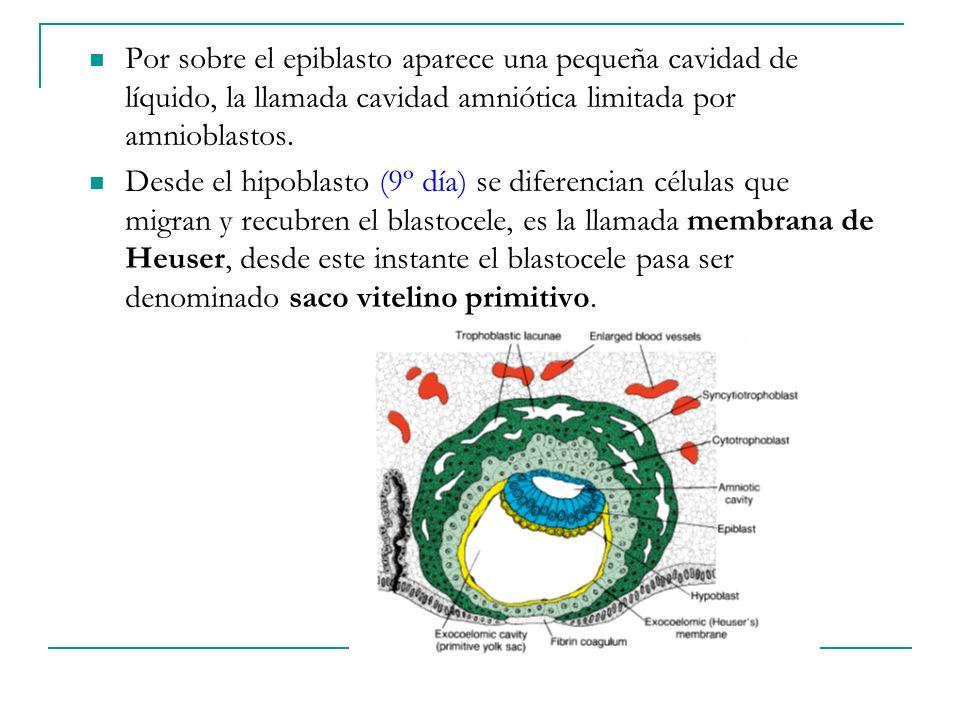 Por sobre el epiblasto aparece una pequeña cavidad de líquido, la llamada cavidad amniótica limitada por amnioblastos.