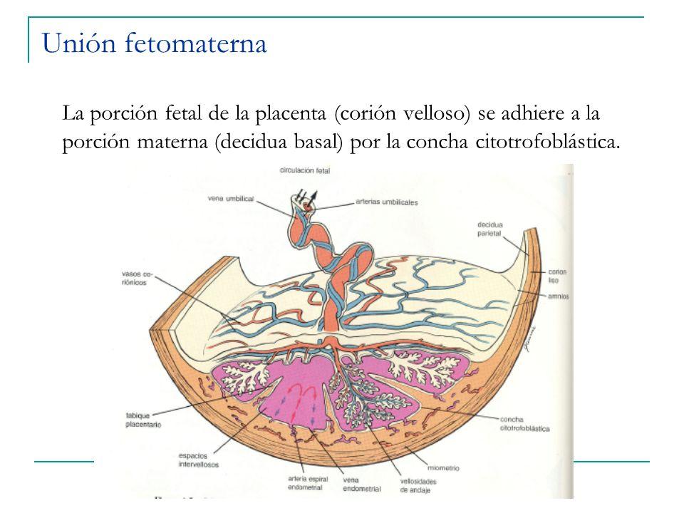 Unión fetomaterna La porción fetal de la placenta (corión velloso) se adhiere a la porción materna (decidua basal) por la concha citotrofoblástica.