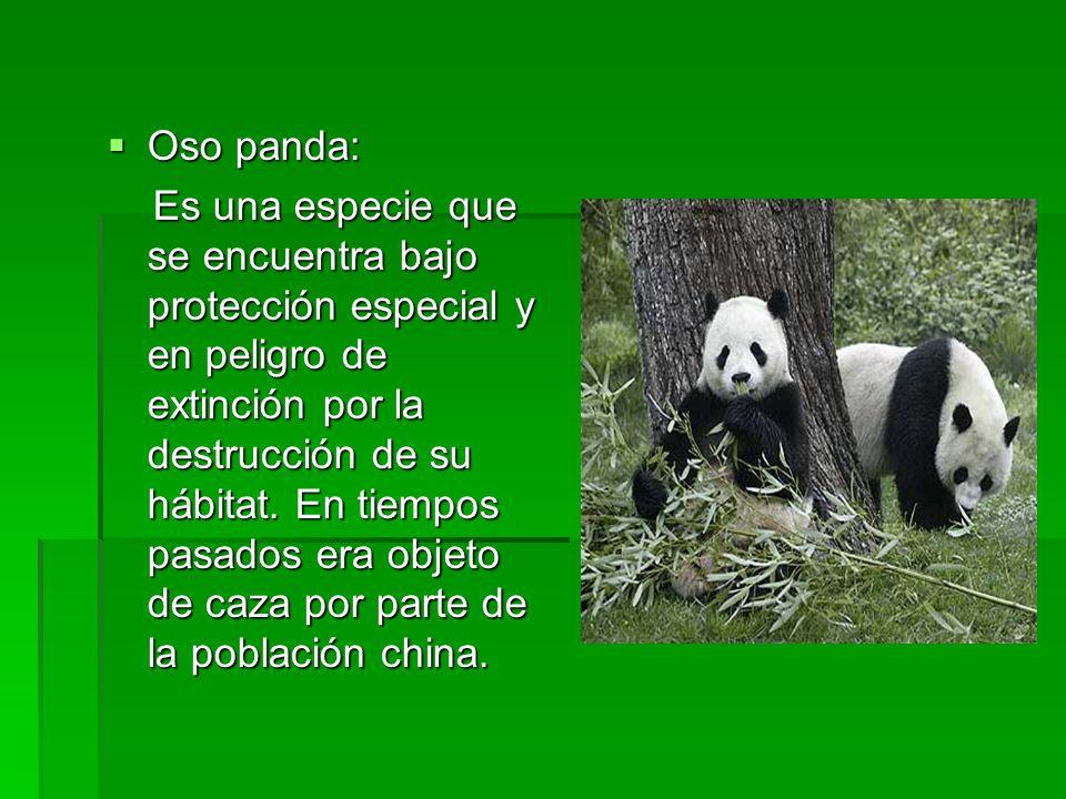 Oso panda: