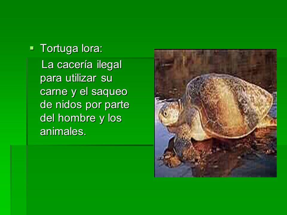Tortuga lora: La cacería ilegal para utilizar su carne y el saqueo de nidos por parte del hombre y los animales.