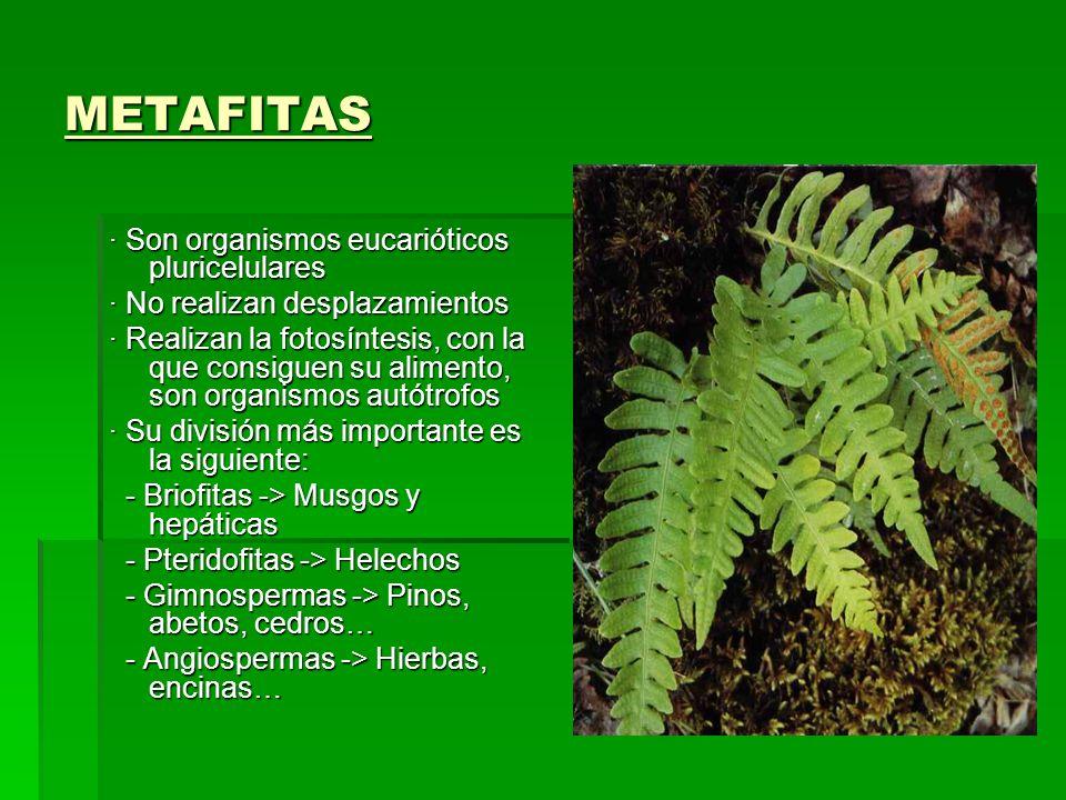 METAFITAS · Son organismos eucarióticos pluricelulares