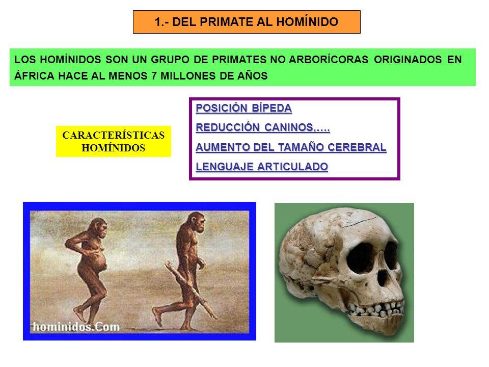 1.- DEL PRIMATE AL HOMÍNIDO CARACTERÍSTICAS HOMÍNIDOS