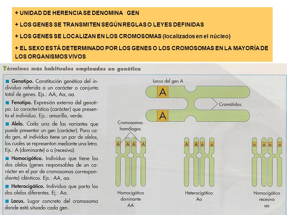 + UNIDAD DE HERENCIA SE DENOMINA GEN