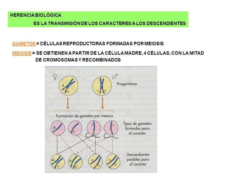 HERENCIA BIOLÓGICA ES LA TRANSMISIÓN DE LOS CARACTERES A LOS DESCENDIENTES. GAMETOS = CÉLULAS REPRODUCTORAS FORMADAS POR MEIOSIS.