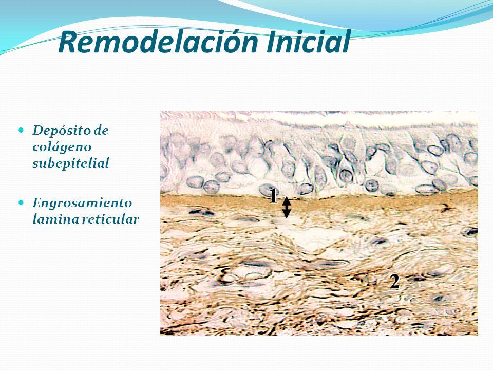 Remodelación Inicial Depósito de colágeno subepitelial