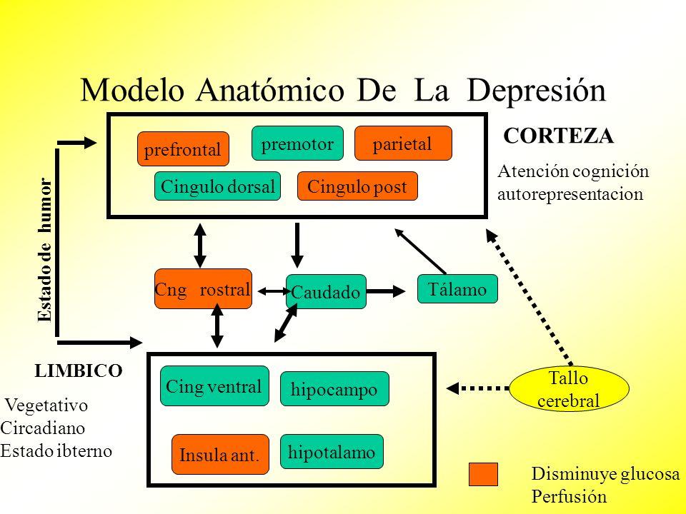 Modelo Anatómico De La Depresión