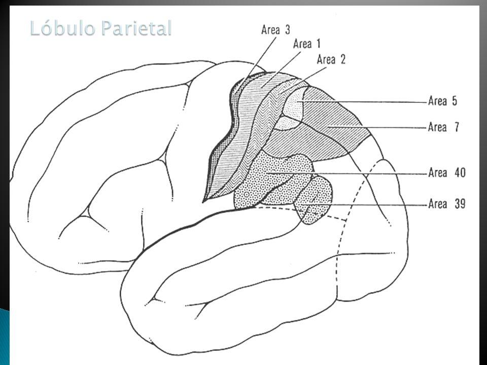 Lóbulo Parietal