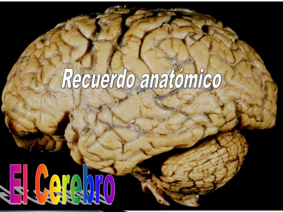 Recuerdo anatómico El Cerebro Dorso lateral