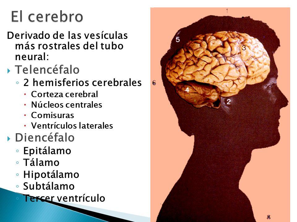 El cerebro Telencéfalo Diencéfalo