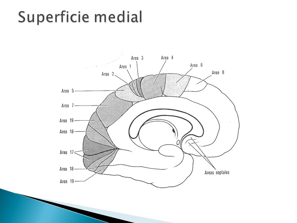 Superficie medial