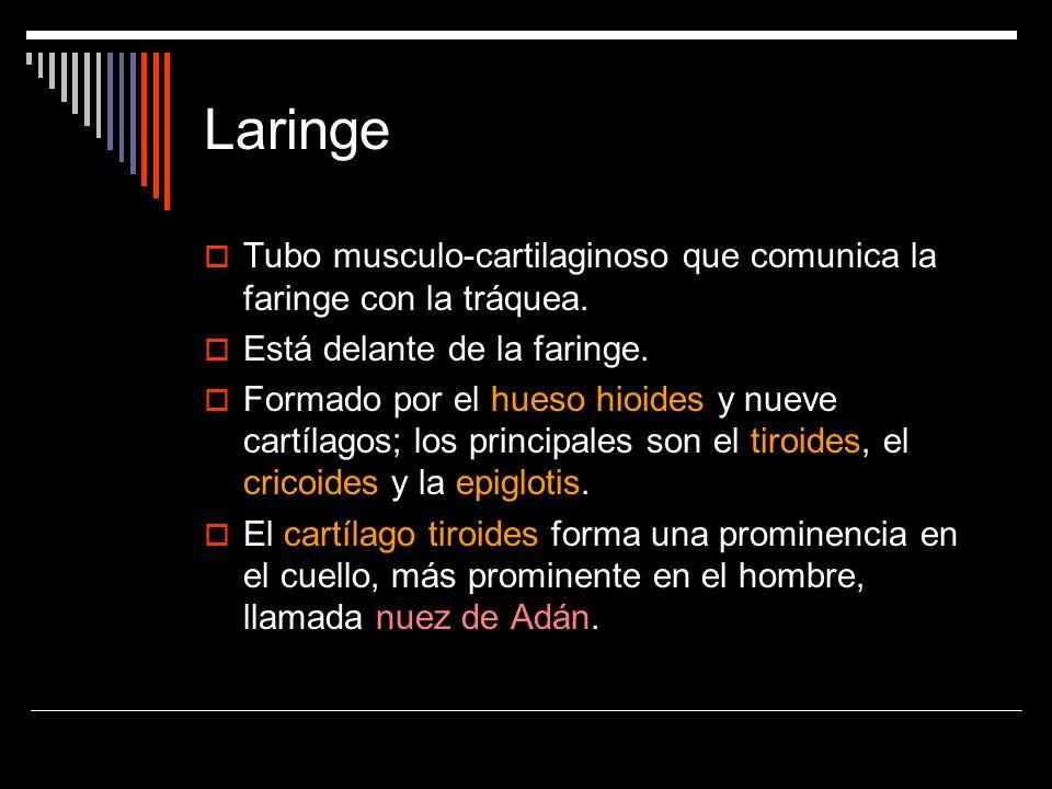LaringeTubo musculo-cartilaginoso que comunica la faringe con la tráquea. Está delante de la faringe.