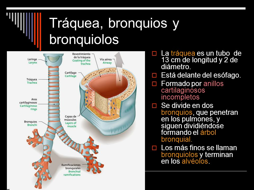 Tráquea, bronquios y bronquiolos