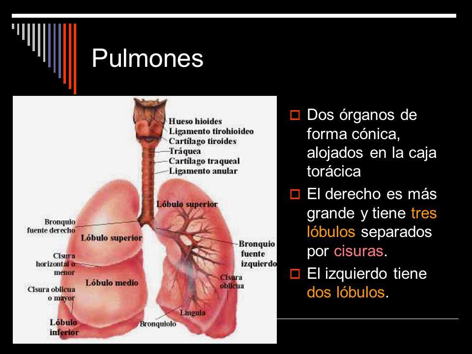 Pulmones Dos órganos de forma cónica, alojados en la caja torácica
