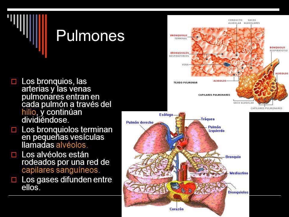 PulmonesLos bronquios, las arterias y las venas pulmonares entran en cada pulmón a través del hilio, y continúan dividiéndose.