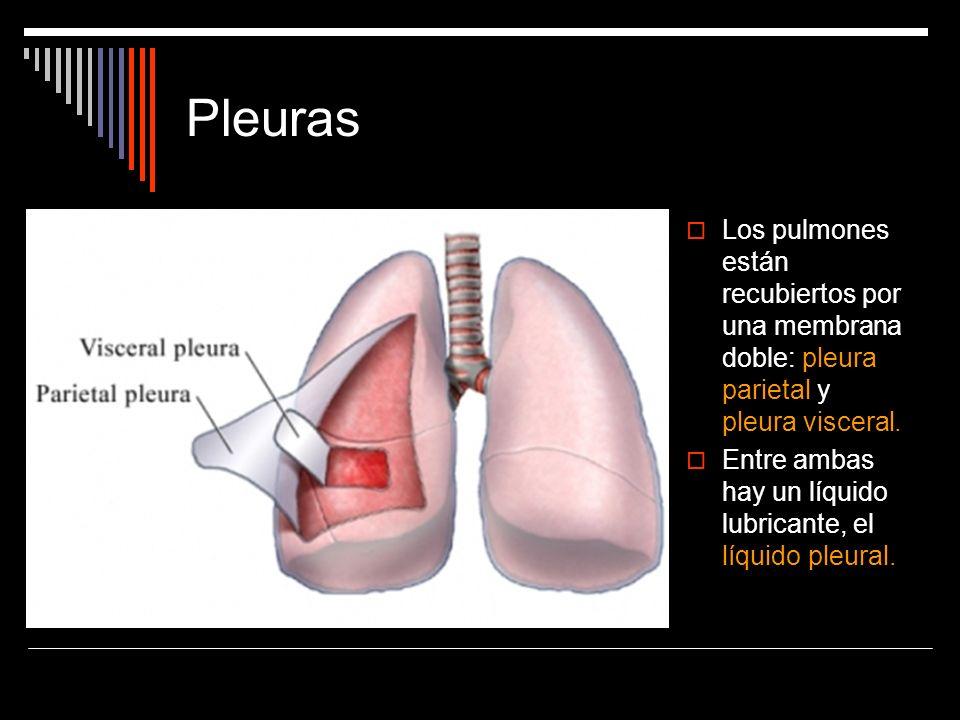 PleurasLos pulmones están recubiertos por una membrana doble: pleura parietal y pleura visceral.