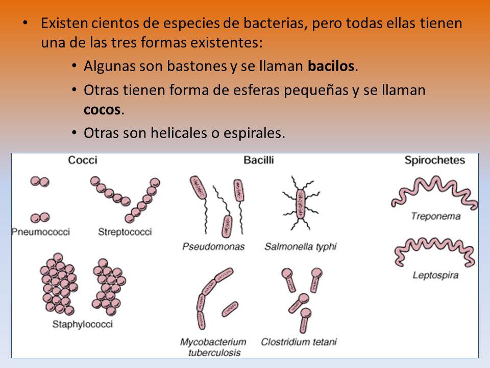 Existen cientos de especies de bacterias, pero todas ellas tienen una de las tres formas existentes: