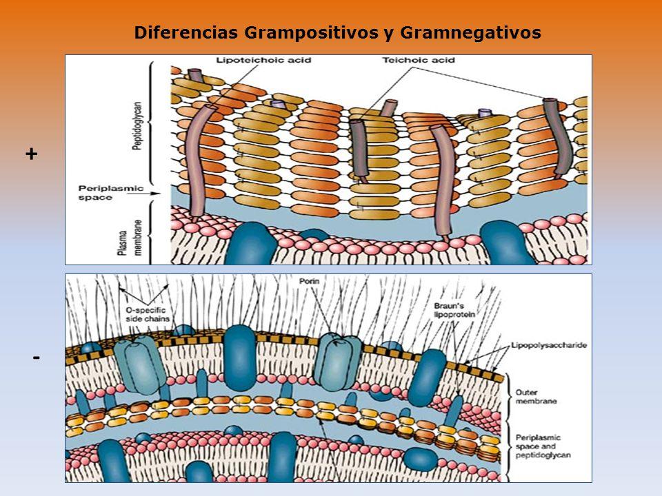 Diferencias Grampositivos y Gramnegativos