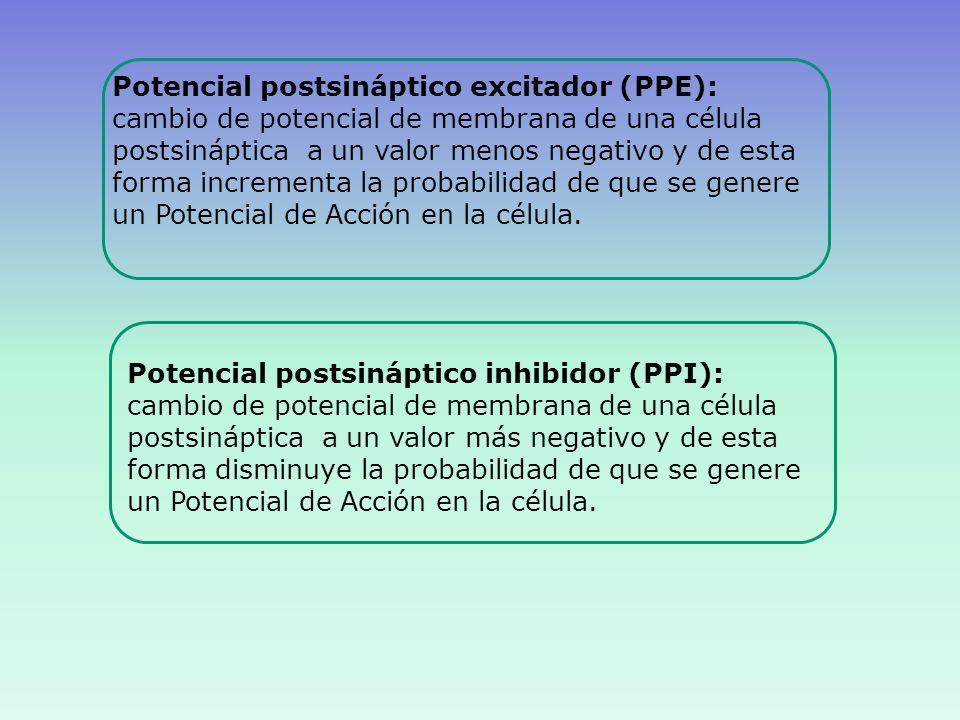 Potencial postsináptico excitador (PPE):